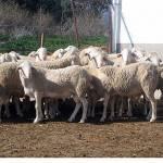 gr10185805062008 150x150 - El gobierno regional subvencionará préstamos a más de 3.200 ganaderos de Castilla-La Mancha