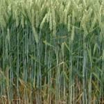 trigo-plantacion