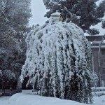 morera llorona con nieve 150x150 - Otro año más la nieve nos visita