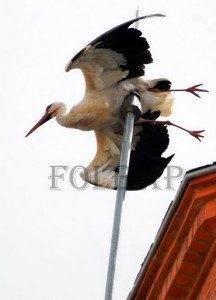 ciguena en apuros en herencia folbap 216x300 - Cigüeña queda enganchada en el pararrayos de la iglesia