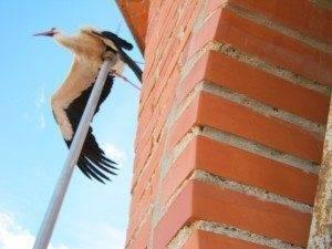 herencia ciguena atrapada en pararrayos 300x225 - Rescate de una cigüeña atrapada en el pararrayos