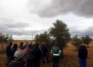 Clase práctica de poda del olivar en Herencia