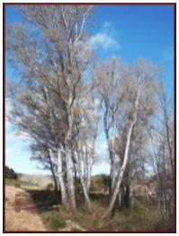 alamos - La alameda de Herencia