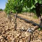 DSCI0918 150x150 - WWF colabora con la Comunidad de Regantes de Herencia para instalar su tecnología OptiWine en uno de los mayores viñedos de La Mancha