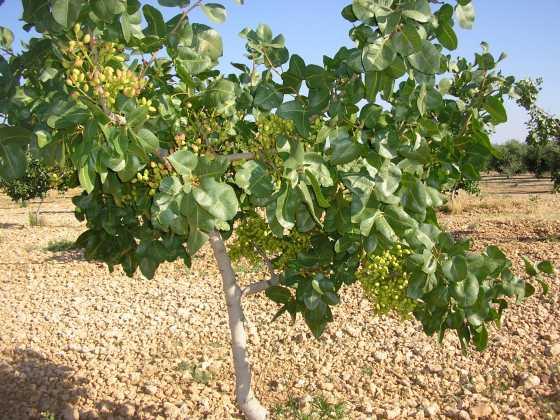 Chaparrillo verano 2015 560x420 - El Chaparrillo se prepara para la época de poda del pistachero y del almendro