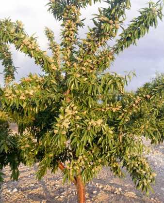 Penta pistacho 338x420 - El Chaparrillo se prepara para la época de poda del pistachero y del almendro