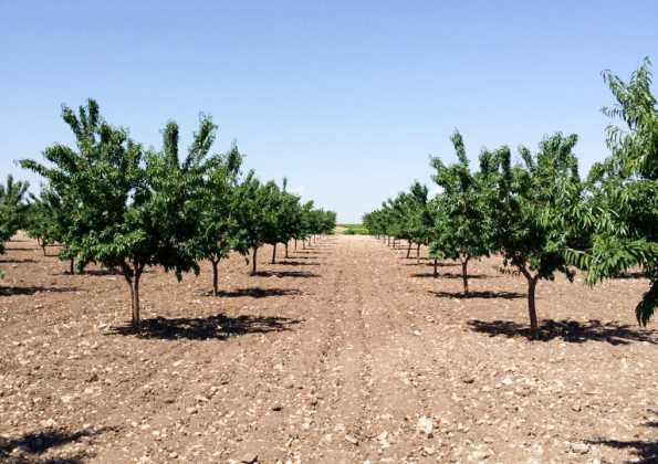 plantacion de pistachos 595x420 - El Chaparrillo se prepara para la época de poda del pistachero y del almendro