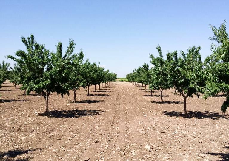 plantación de pistachos