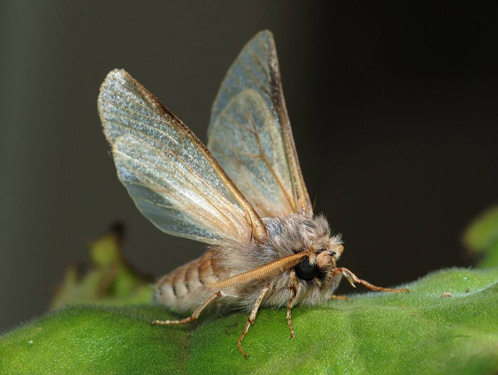 mariposa de la oruga de la procesionaria del pino - Tratamiento fitosanitario contra la procesionaria de los pinos