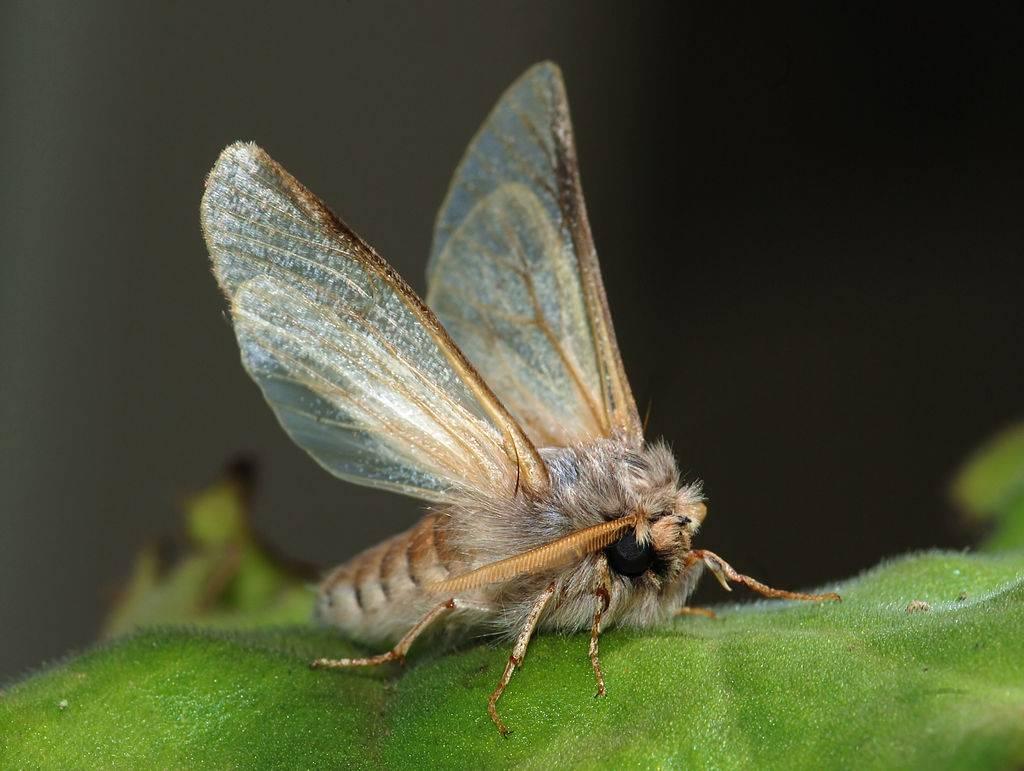 mariposa de la oruga de la procesionaria del pino