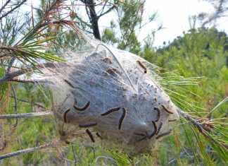 nido de oruga de procesionaria del pino