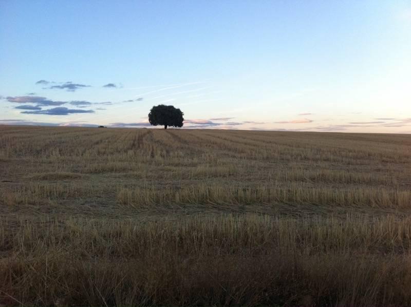 Rastrojo de cebada en Tamame - Retrasado el levantamiento de rastrojeras hasta el uno de septiembre