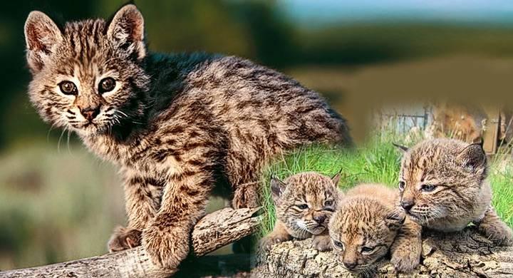 cachorros de lince iberico en montes de toledo