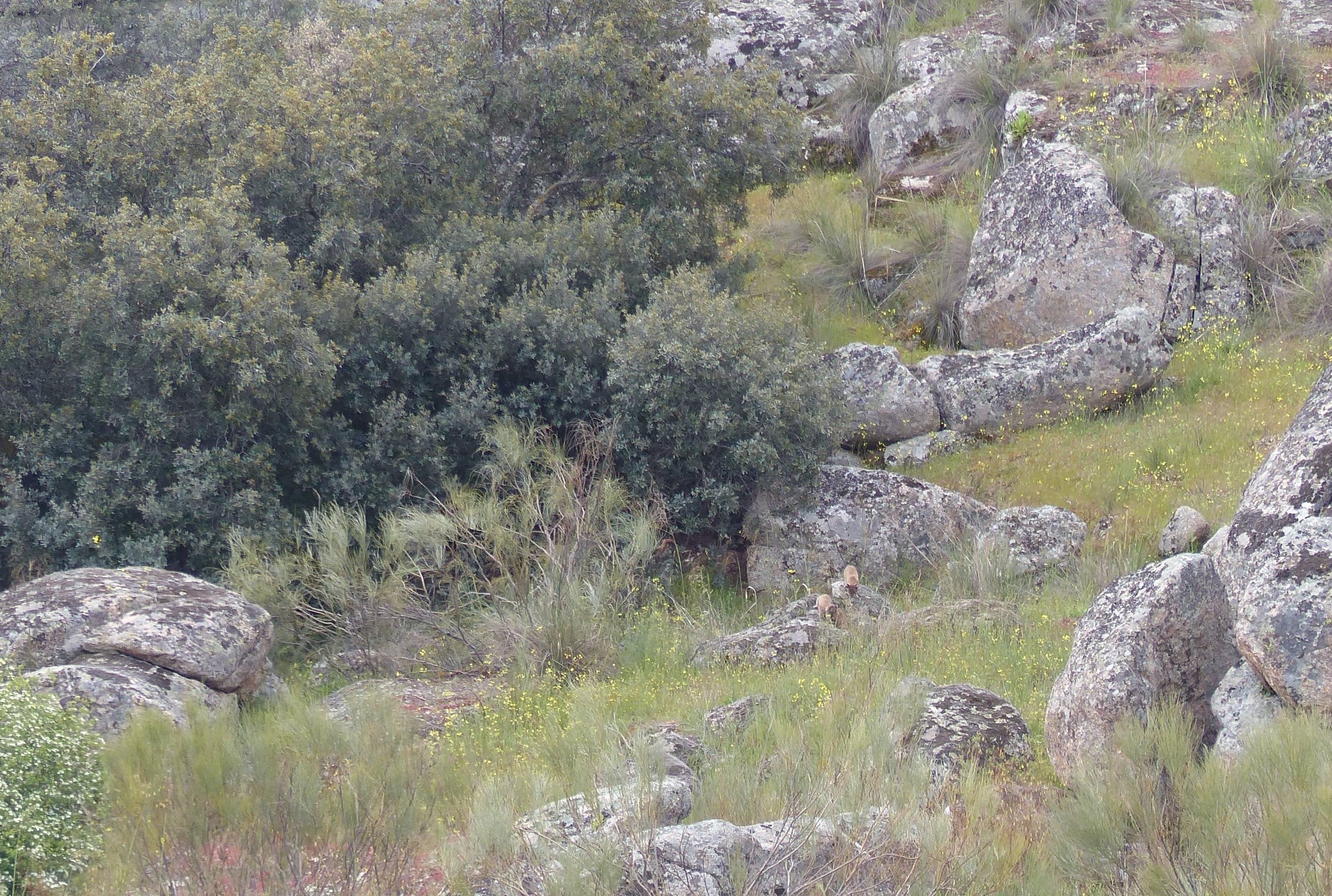 lince iberico libre en montes de toledo