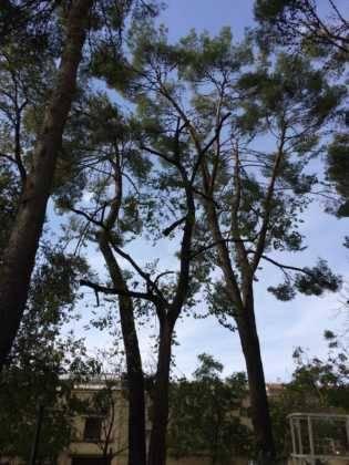 Campaña de poda y saneado del arbolado del parque municipal 16