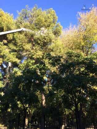 poda de arboles en parque municipal 39 315x420 - Campaña de poda y saneado del arbolado del parque municipal