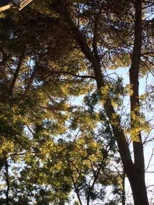 poda de arboles en parque municipal 85 315x420 - Campaña de poda y saneado del arbolado del parque municipal