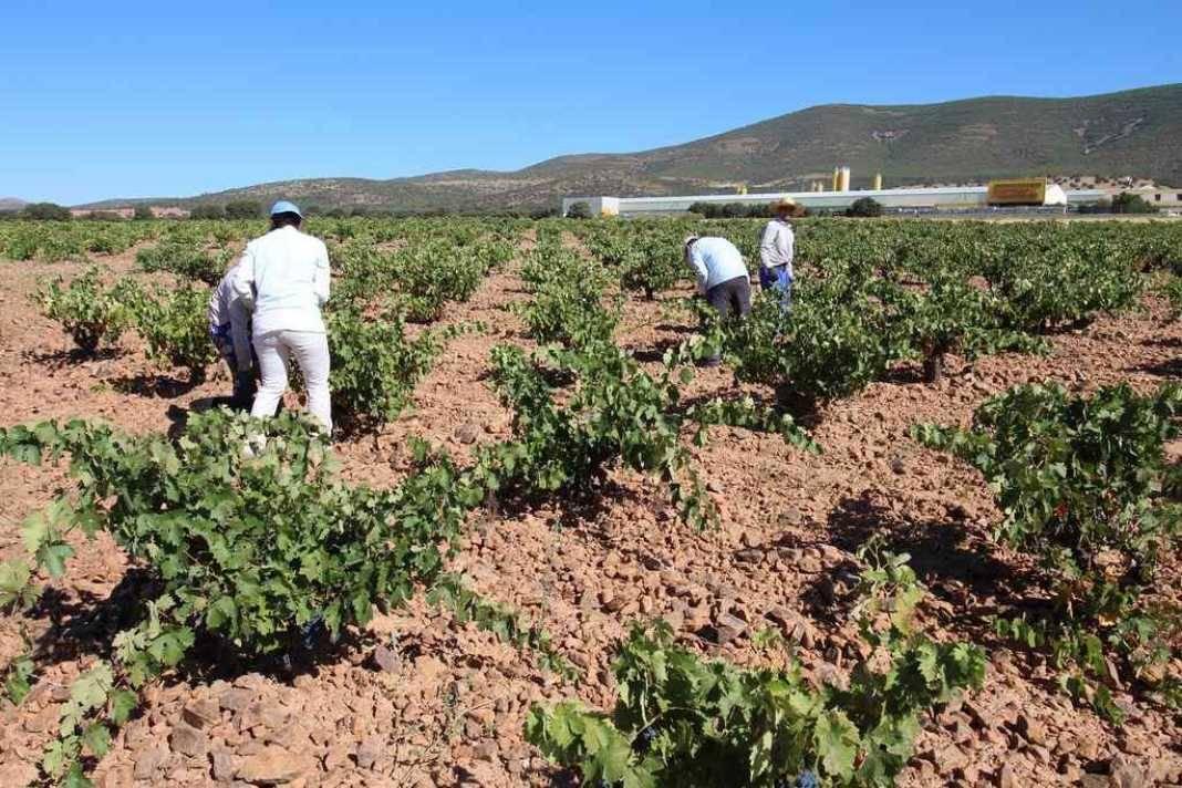 vendimia01 1068x712 - La vendimia se adelanta hasta 20 días para algunas variedades.