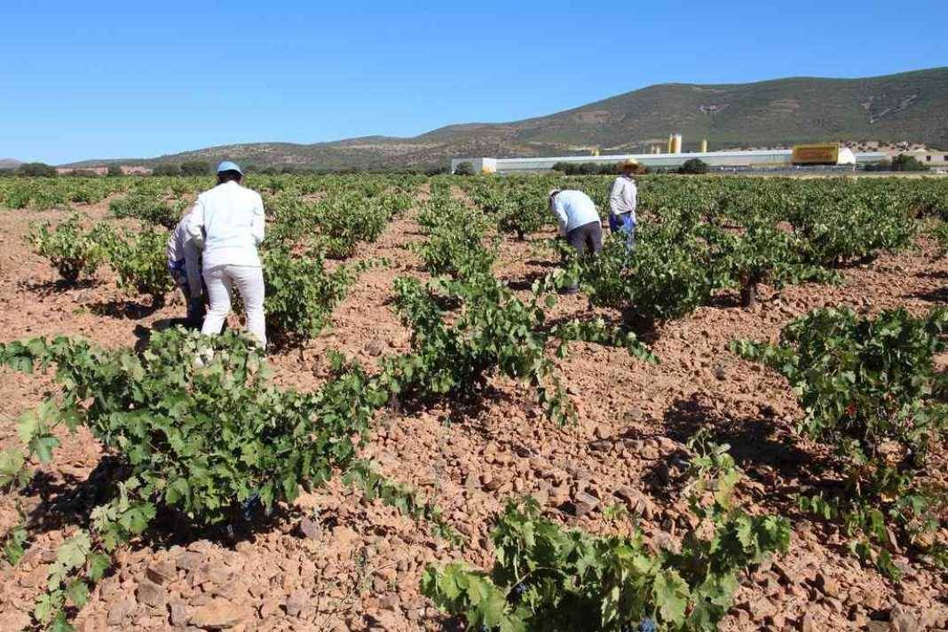 La vendimia se adelanta hasta 20 días para algunas variedades. 4