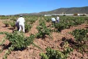 vendimia01 300x200 - La vendimia se adelanta hasta 20 días para algunas variedades.