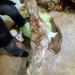Rescatado un galgo dentro de un contenedor en Herencia 3
