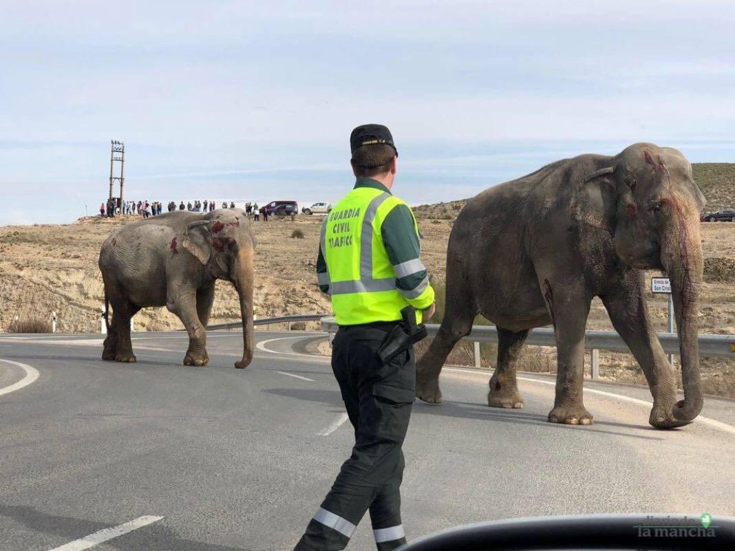 accidente a 30 elefantes 7 1068x801 - Un elefante muerto en un accidente en la A-30 en Albacete