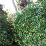 La tormenta de ayer dejó caídas de grandes ramas en la Avda. de Alcázar 5