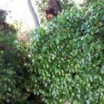 arbol caido por tormenta avda alcazar en herencia 3 150x150 - La tormenta de ayer dejó caídas de grandes ramas en la Avda. de Alcázar