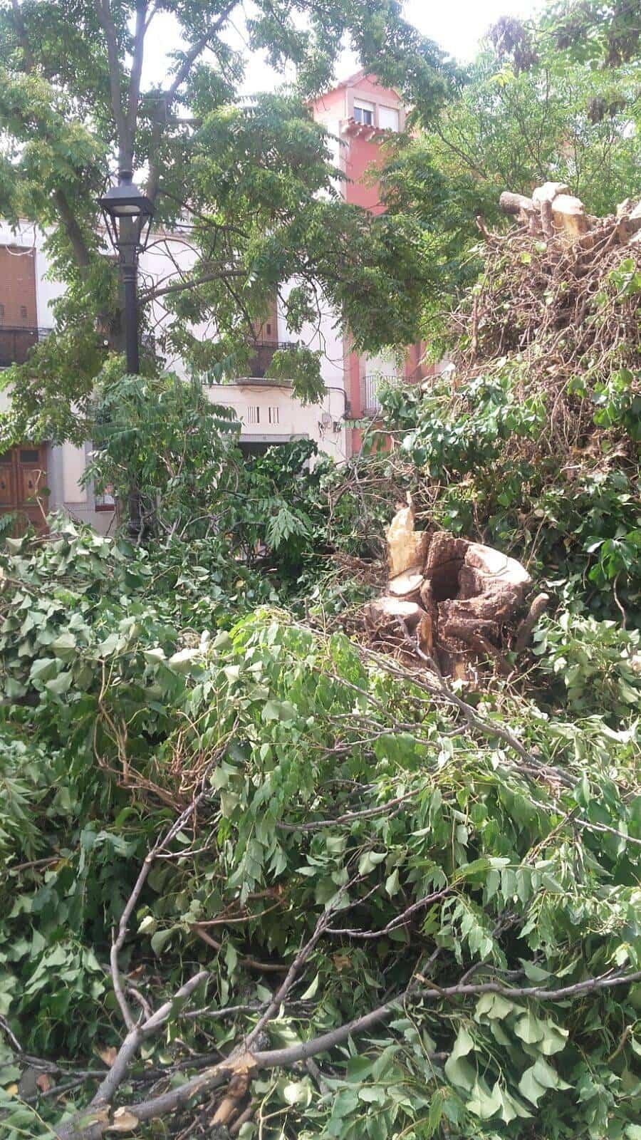 talando arboles plaza cervants herencia 2 - Retirada de árboles de la Plaza Cervantes por seguridad