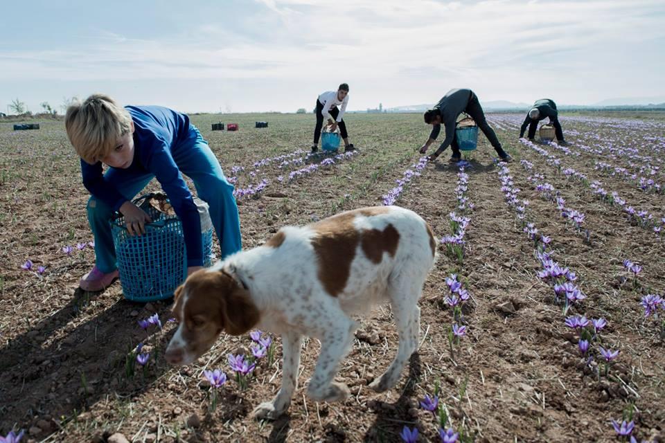 La Rosa del azafran de PAglo Garc%C3%ADa Miguel segundo premio del concurso Un mundo rural vivo - El ministerio de Agricultura organiza una exposición fotográfica que incluye una imagen de Pablo García-Miguel