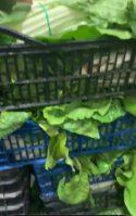 donaci%C3%B3n de la huerta de Herencia3 125x199 - Hortelanos de Herencia donan productos de sus huertas para alimentar a los sanitarios del hospital Mancha-Centro