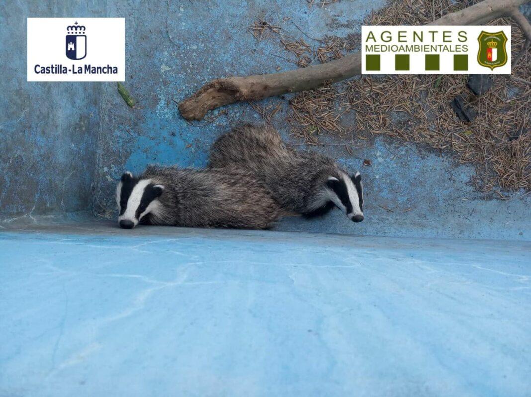 dos tejones rescatados herencia 1068x799 - Agentes Medioambientales rescatan de dos tejones en Herencia gracias a un ciudadano