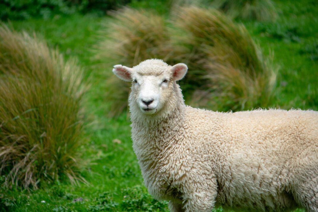 oveja leche blanca 1068x712 - Piden más de 2 años de carcel para el ganadero acusado de engañar a una quesera en Herencia