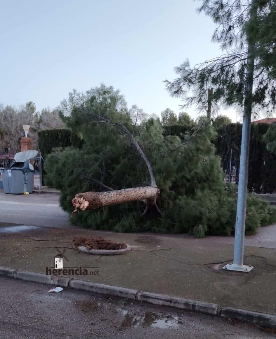 Las fuertes rachas de viento sigue tirando árboles en Herencia 5