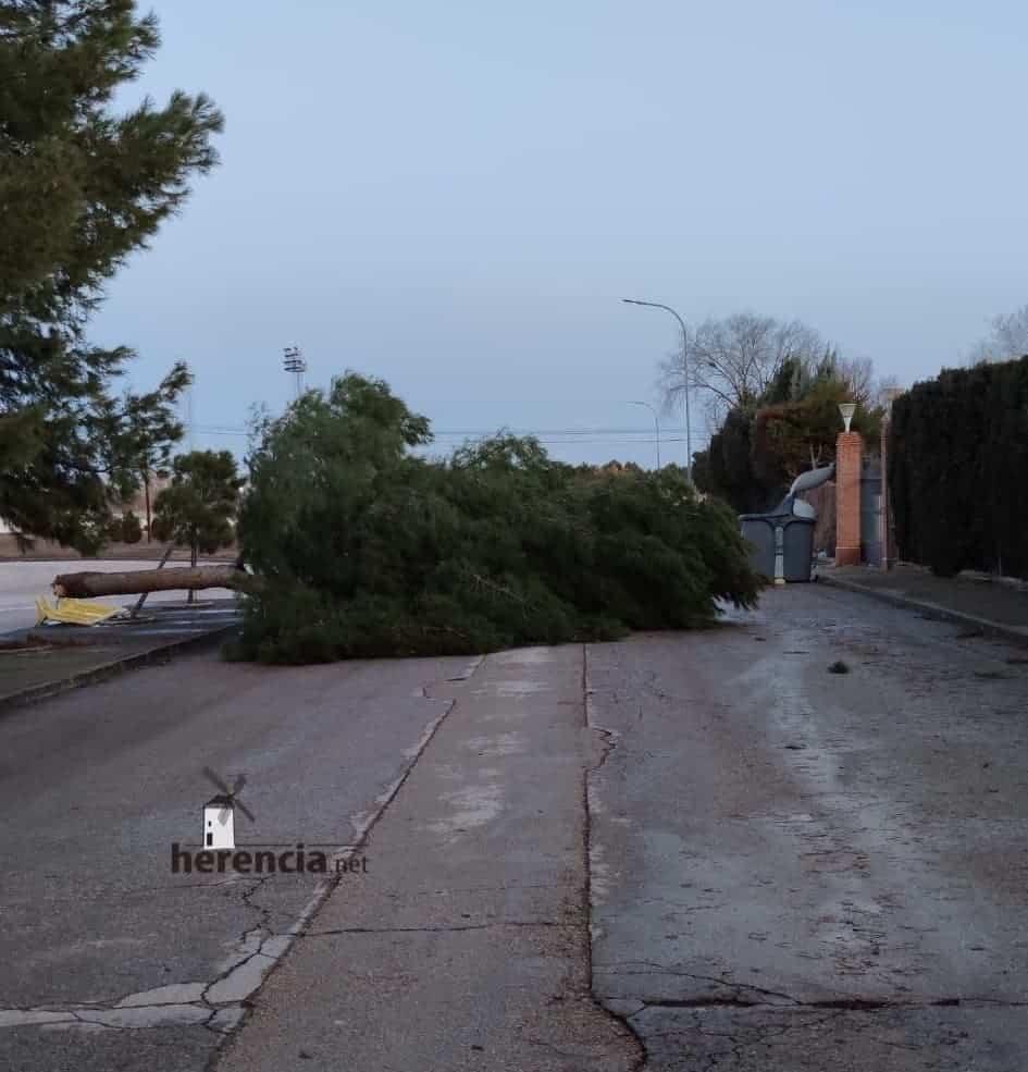 Las fuertes rachas de viento sigue tirando árboles en Herencia 6