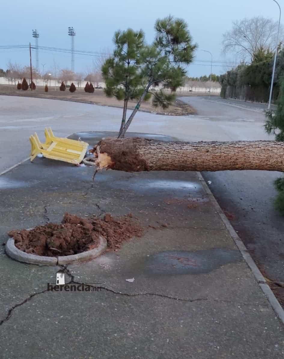 Las fuertes rachas de viento sigue tirando árboles en Herencia 7