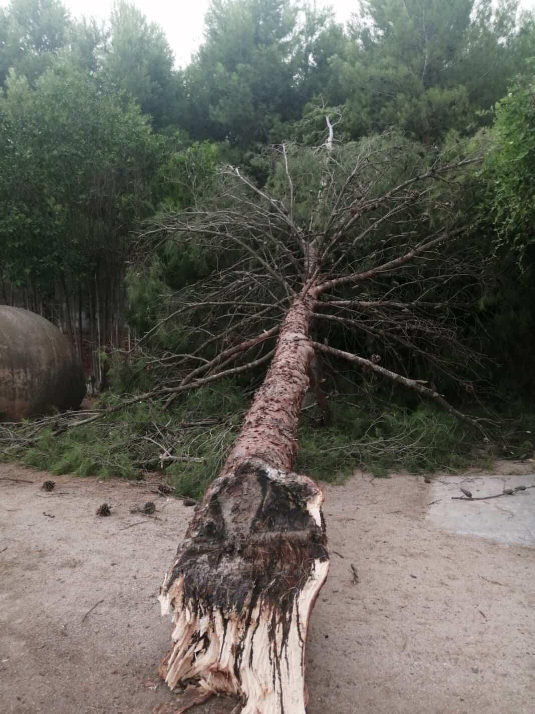 Una tormenta con fuertes rachas de viento provocaron la caída de árboles en Herencia 4